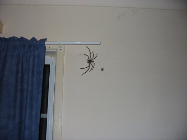 Huntsman Spider Size Comparison Images & Pictures - Becuo