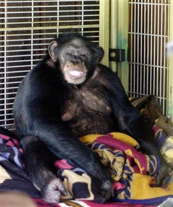 Woman killed by chimpanzee wtf