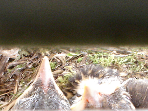 Little birds under my porch (Pics)!