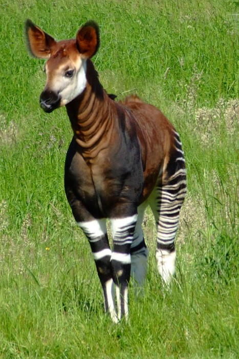 Okapi, the pride of cryptozoology!