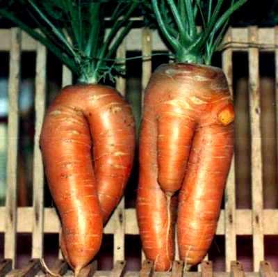 Baby carrots!