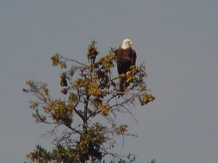Bald Eagle Watching