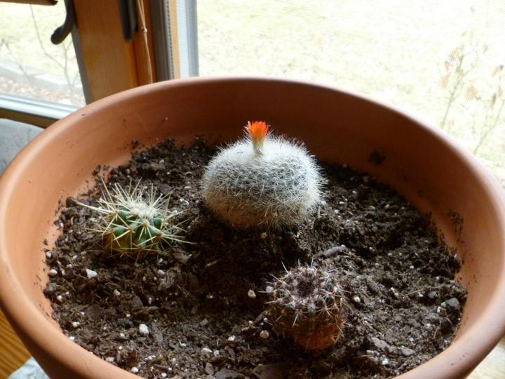 Mah cacti be bloomin!