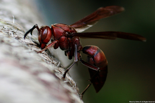 Giant African Wasp http://www.newgrounds.com/bbs/topic/1309059/2