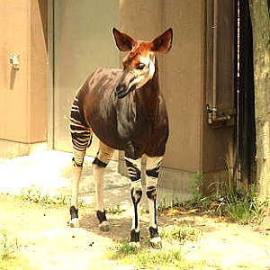 The Okapi.