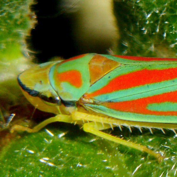 colorful leaf hopper by - photo #49