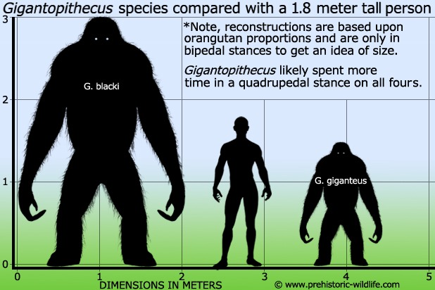 Largest primate that ever lived.