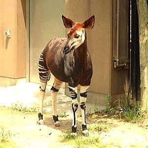 The Okapi.