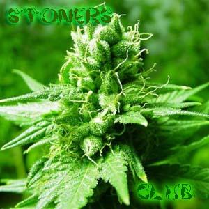 The Stoner's Club